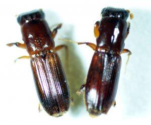 カシノナガキクイイムシ 左:♀、右:♂(井の頭P)