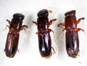 カシノナガキクイイムシ 左2頭は♀、右1頭は♂