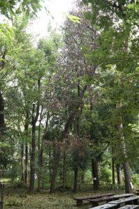カシノナガキクイイムシによるコナラ被害木